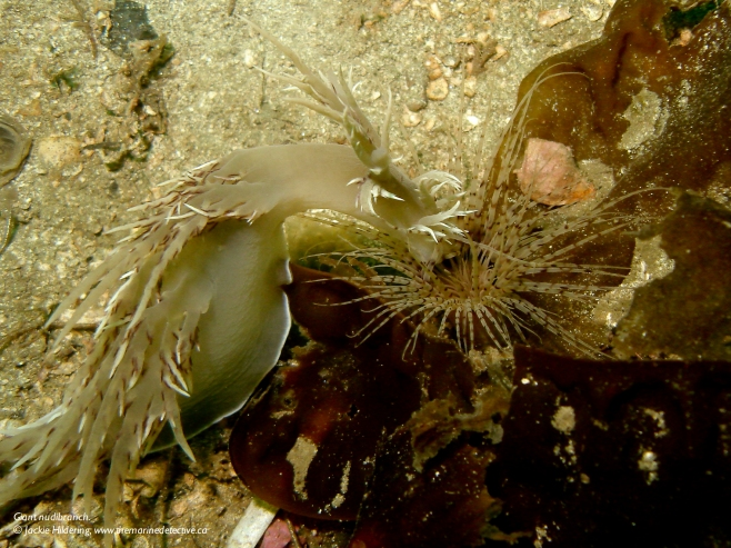 Giant nudibranch launching into a tube-dwelling anemone. © Jackie Hildering