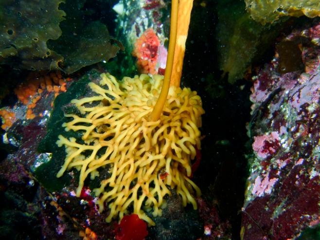 Bull kelp holdfast. No roots.