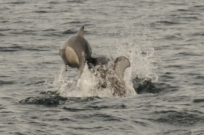 Dall's porpoise calf hit from below by Pacific white-sided dolphin.