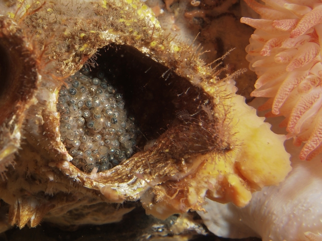 Kelp greenling eggs in a giant barnacle shell. See the eyes?! © 2013 Jackie Hildering