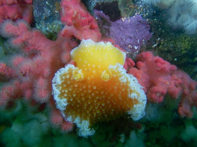 Sea slug amidst red soft coral.