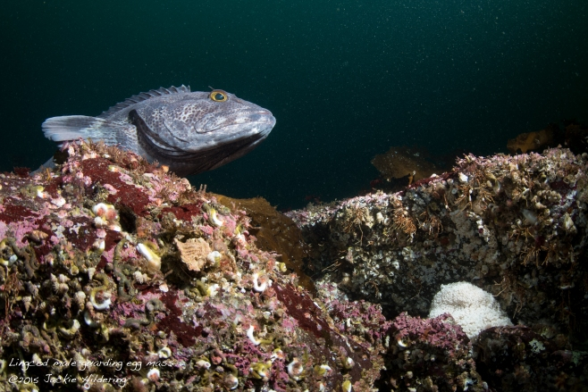 Lingcod male guarding egg mass (lower right). ©2015 Jackie Hildering