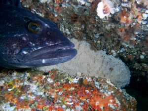 Lingcod male guarding eggs