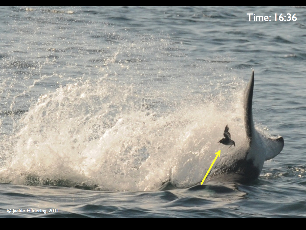 Fins Verses Feathers  U2013 Transient Killer Whales Harass