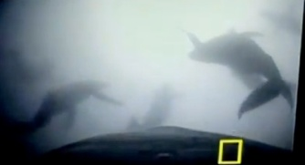 Video screen grab of calf with Crittercam watching mother and 11 other adult humpbacks cooperative bubble-net feeding.