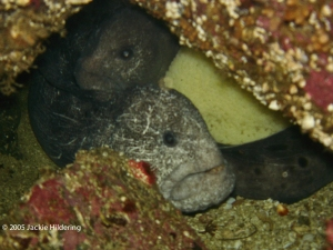 Mr and Mrs Wolf-Eel tending their egg mass © 2005 Jackie Hildering-