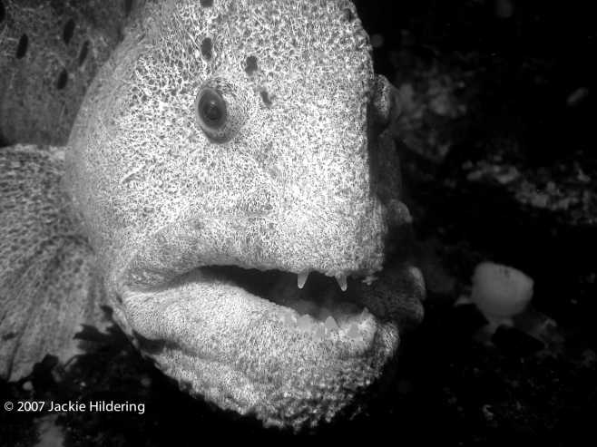 Mature male wolf-eel. © 2007 Jackie Hildering