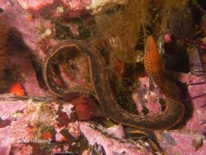 Juvenile wolf eel. © 2010 Jackie Hildering-