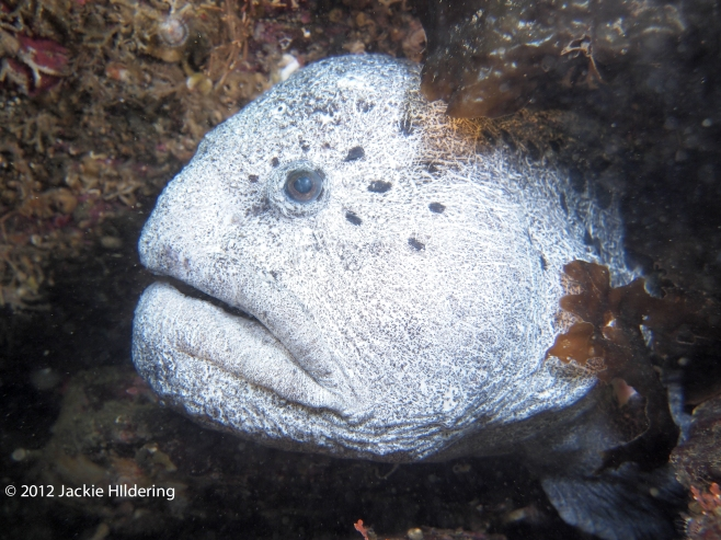 Each wolf-eel has distinct spots around their eyes which helps recognize them as individuals. © 2012 Jackie Hildering