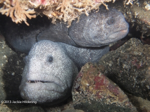 Mr. and Mrs. Wolf Eel on February 16, 2013 near Port Hardy. © 2013 Jackie Hildering