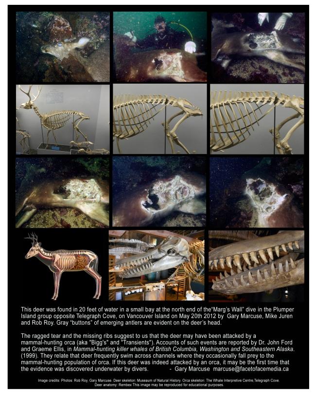 Deer-Underwater