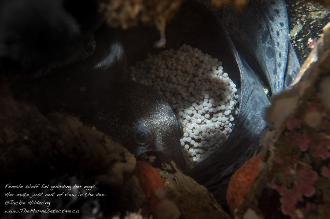 Female Wolf Eel guarding eggs. March 2016 @Jackie Hildering.