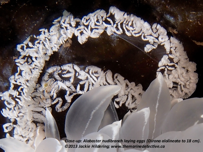 Alabaster nudibranch laying eggs.