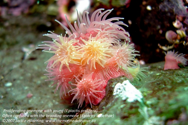 Proliferating anemone.