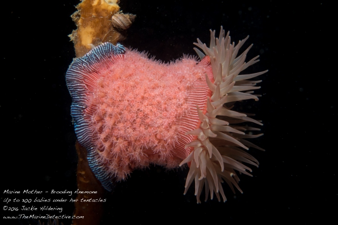 Brooding anemone with young (Epiactis lisbethae) - all the same age. ©2016 Jackie Hildering.