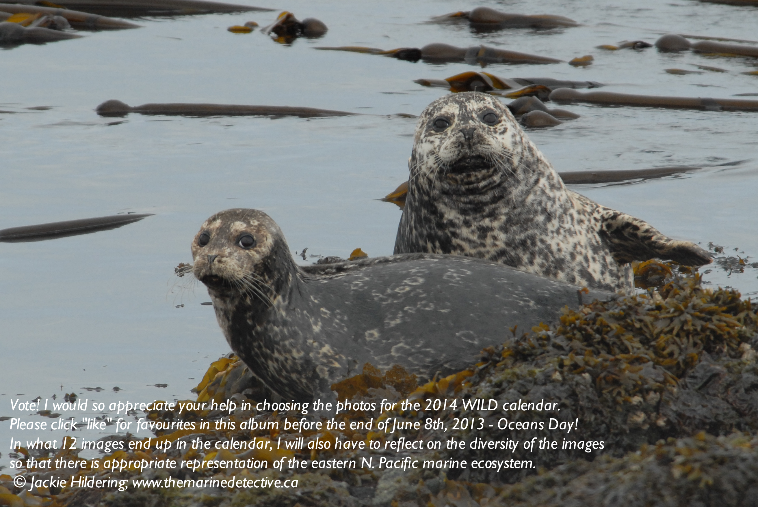 The environmental issues of the steller sea lions