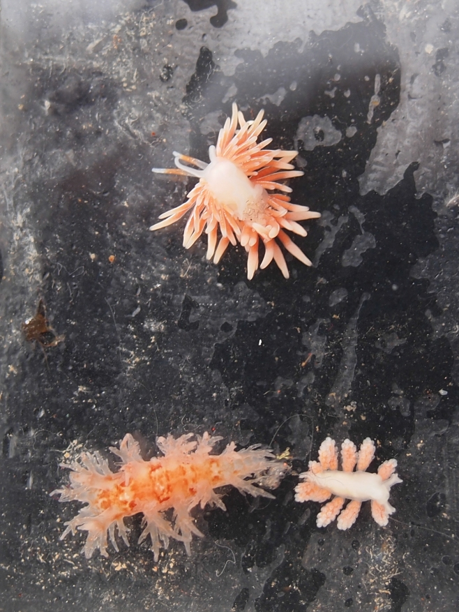 3 nudibranch species on the aural that had been at 226 m. Photo: Hildering.
