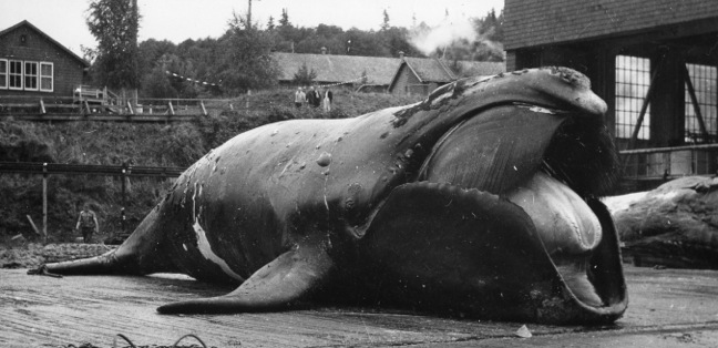 North Pacific right whale at the Coal Harbour whaling station in 1951. Photo credit: Pacific Biological Station, DFO.
