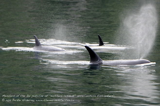 "Member of the I15 matriline of ""northern resident"" (inshore fish-eating) orca with heart-shaped blow. Threatened population. © 2013 Jackie Hildering"