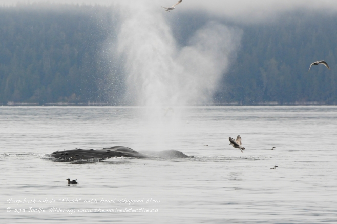 "October 2013 - Heart-shaped blow from humpback ""Flash"". © 2013 Jackie Hildering"