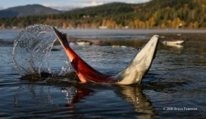 Spawning Sockeye salmon © 2006 Bruce Paterson