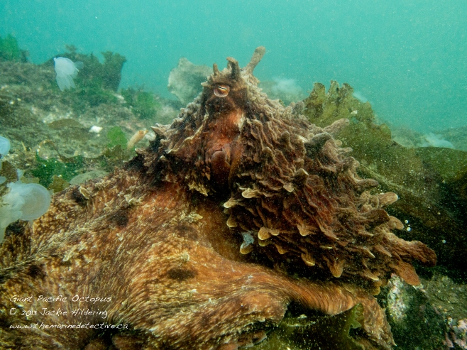 Giant Pacific Octopus #1 with hooded nudibranchs in the background © 2013 Jackie Hildering