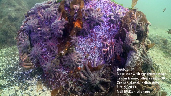 Click to enlarge. Photo and descriptor - Neil McDaniel; www.seastarsofthepacificnorthwest.info