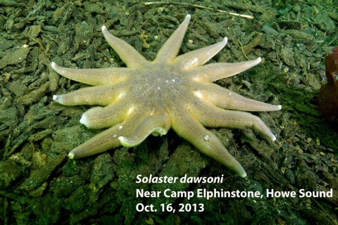 Morning sun star with lesions indicating the onset of sea star wasting syndrome. Photo and descriptor - Neil McDaniel; www.seastarsofthepacificnorthwest.info Click to enlarge.