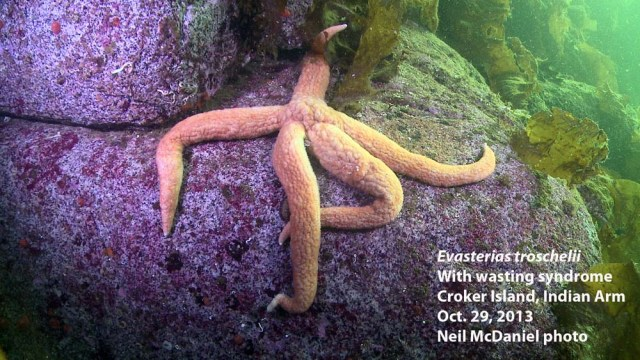 Mottled star with sea star wasting syndrome. Photo and descriptor -  Neil McDaniel; www.seastarsofthepacificnorthwest.info Click to enlarge.