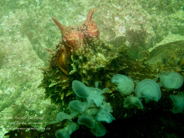 Getting checked out by Giant Pacific Octopus #1. Hooded nudibranchs in the foreground. © 2013 Jackie Hildering
