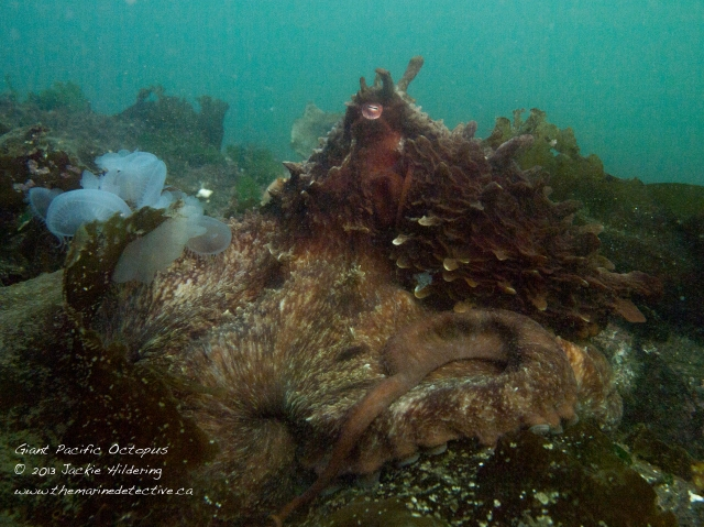 Giant Pacific Octopus #1 with hooded nudibranchs © 2013 Jackie Hildering