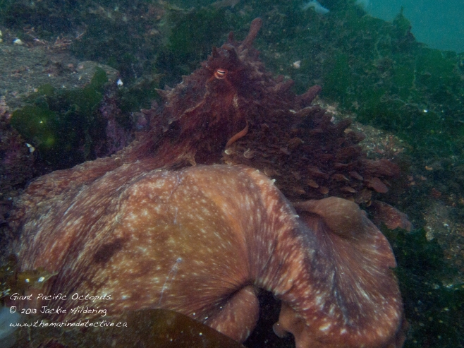 Giant Pacific Octopus #1 with mantle flashing white which it seemed to do when it pounced on prey (a crab in this case - I think) © 2013 Jackie Hildering