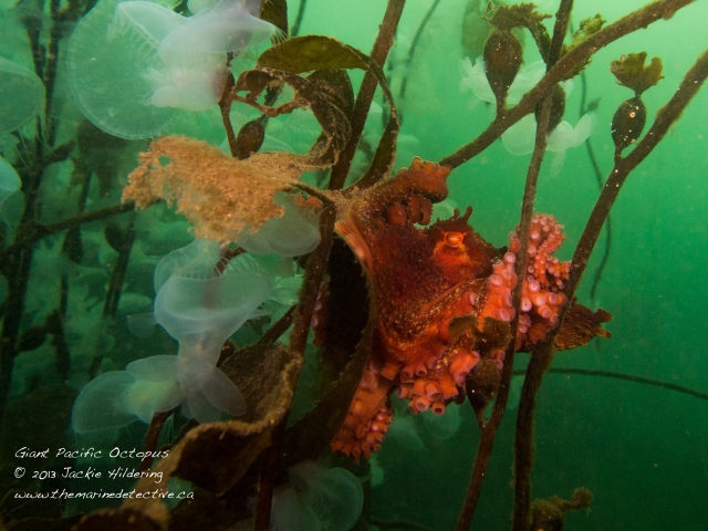 Giant Pacific Octopus #2 - much smaller and using the giant kelp as a hammock. © 2013 Jackie Hildering