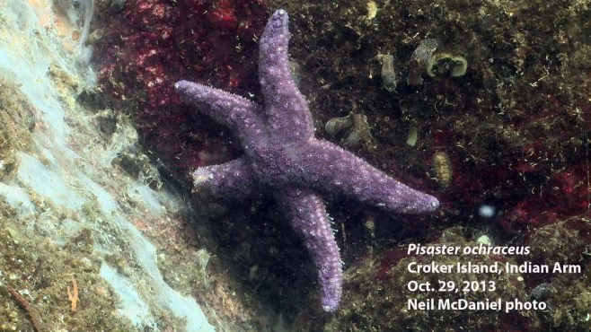 Ochre star (aka purple star) with sea star wasting syndrome. Photo and descriptor - Neil McDaniel; www.seastarsofthepacificnorthwest.info Click to enlarge.