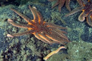 Sunflower star with sea star wasting syndrome. Photo - Neil McDaniel; www.seastarsofthepacificnorthwest.info