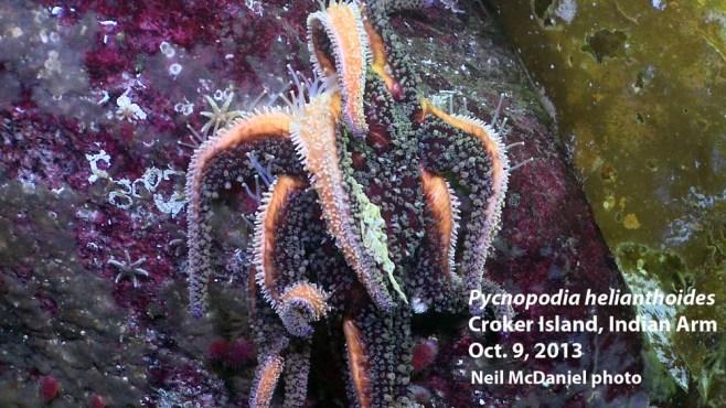 Photo and descriptor - Neil McDaniel; www.seastarsofthepacificnorthwest.info