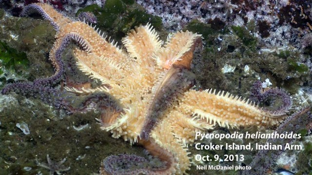 Photo and descriptor -  Neil McDaniel; www.seastarsofthepacificnorthwest.info