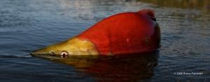 Spawning Sockeye salmon © 2006 Bruce Paterson