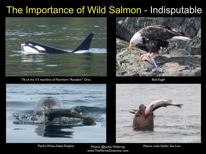 The importance of salmon ©2016 Jackie Hildering