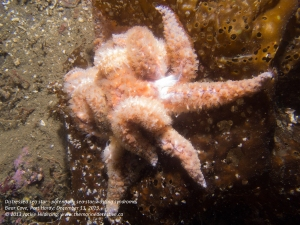 Sunflower star in distress - potentially wasting syndrome. (Click to enlarge.) Photo from a week ago. Bear Cove, Port Hardy; December 13, 2013. © 2013 Jackie Hildering