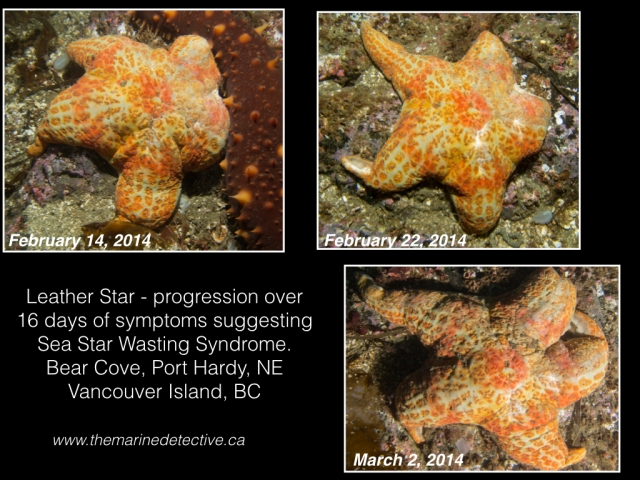 Progression of symptoms in a leather star over 16 days at Bear Cove, Port Hardy. (Click to enlarge.)© 2014 Jackie Hildering