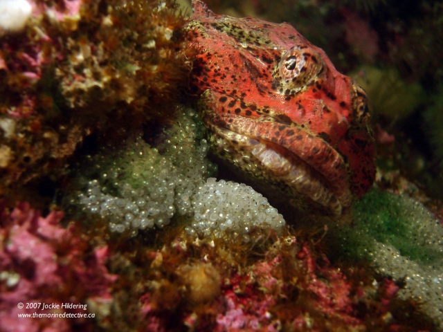 Male Buffalo Sculpin guarding egg mass. © 2013 Jackie Hildering