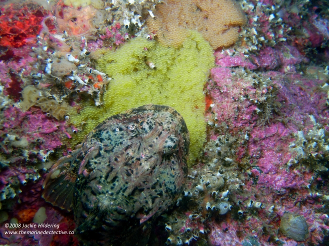 Male Buffalo Sculpin guarding two egg masses - each from different females. © 2013 Jackie Hildering