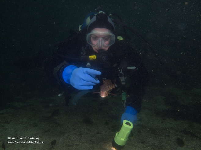 Dive buddy Jacqui Engel pointing at the male White-Spotted Greenling before we clued in and got out of his territory with eggs. Image shows small the fish is compared to us and how big his drive to protect the egg masses that he would come after us. © 2013 Jackie Hildering