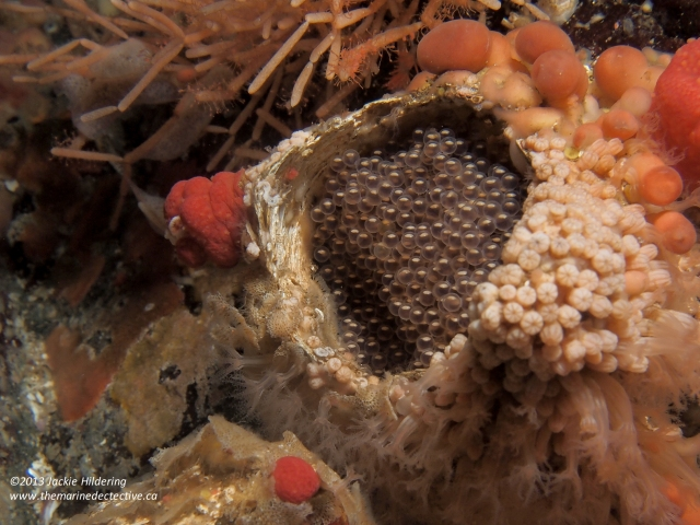 Eggs the male Kelp Greenling was guarding. Most often in giant barnacle tests (shells) like this. © 2013 Jackie Hildering