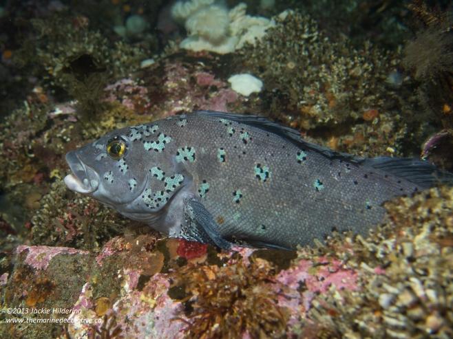 Male Kelp Greenling © 2013 Jackie Hildering