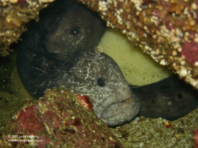 Mr. and Mrs. Wolf Eel sharing duty in taking care of the egg mass. © 2013 Jackie Hildering