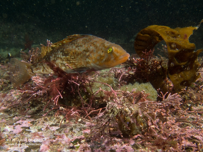 Male White-Spotted Greenling intensely guarding eggs. © 2013 Jackie Hildering