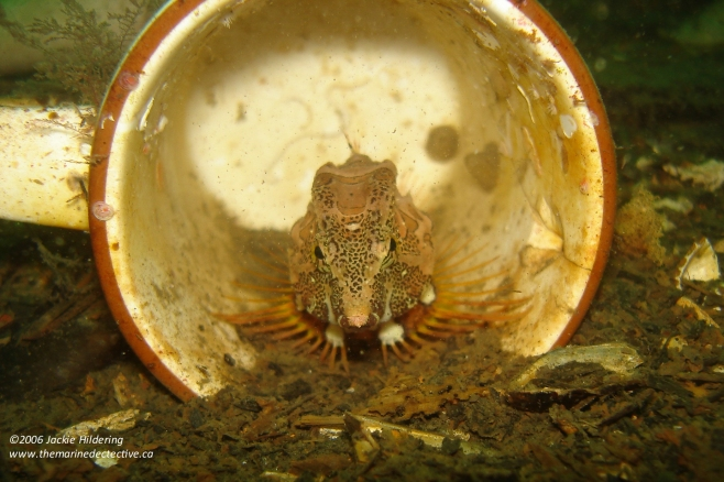 Grunt Sculpin. Most often found in empty barnacle tests (not cups!) © 2013 Jackie Hildering