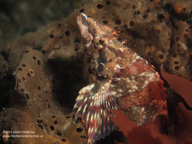 Painted greenling. © 2013 Jackie Hildering